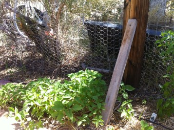 New rabbit proofing, by Reanna
