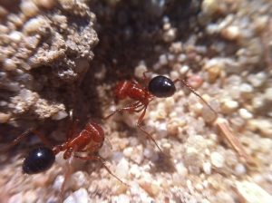 "We call these ""big red ants"" or ""big red and black ants."" They are a little smaller than big purple ants, and their bite hurts a little bit less. You still want to avoid them. They are the most common ant around, these days, though it seems like that's a change from when I was a kid, when black ants dominated."