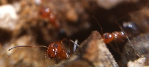 Head shot of a little red ant, peering over a tiny fragment of a stick.